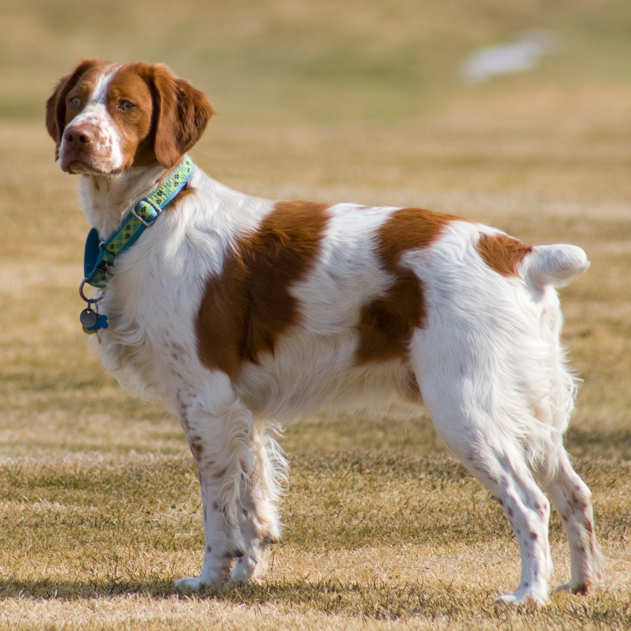 New England Brittany Rescue